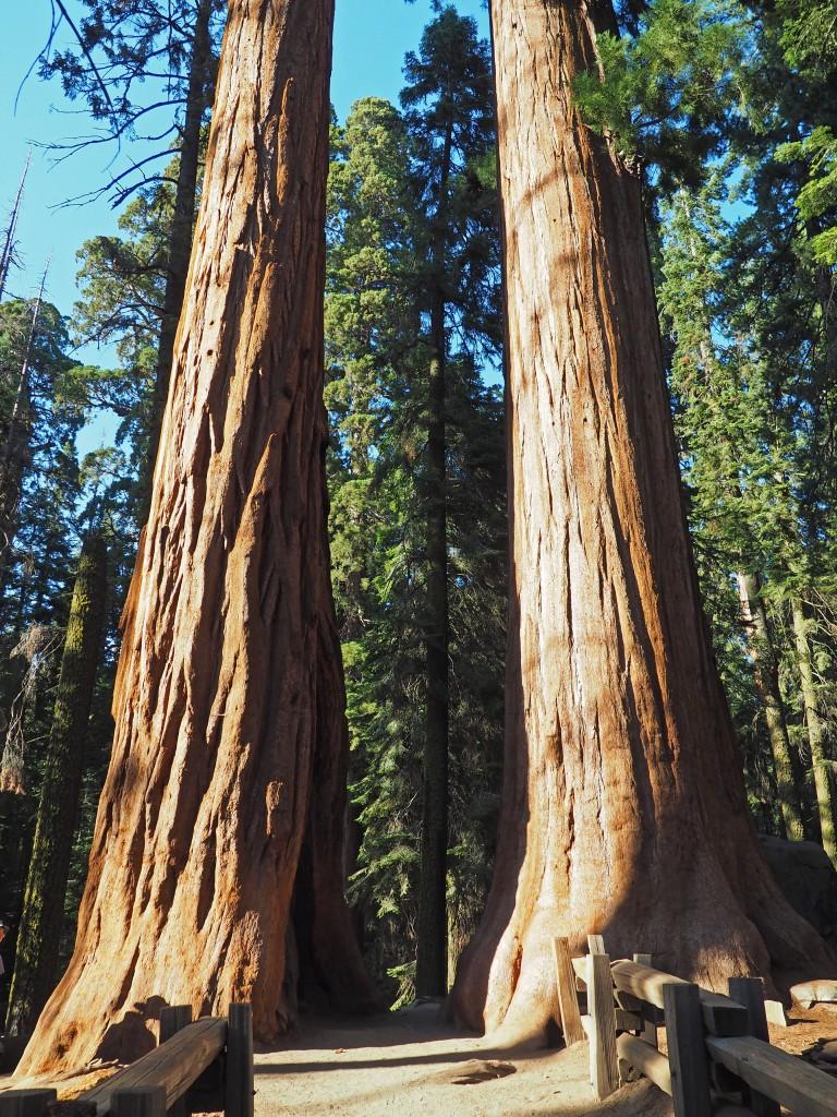 Dos ejemplares de Sequoias