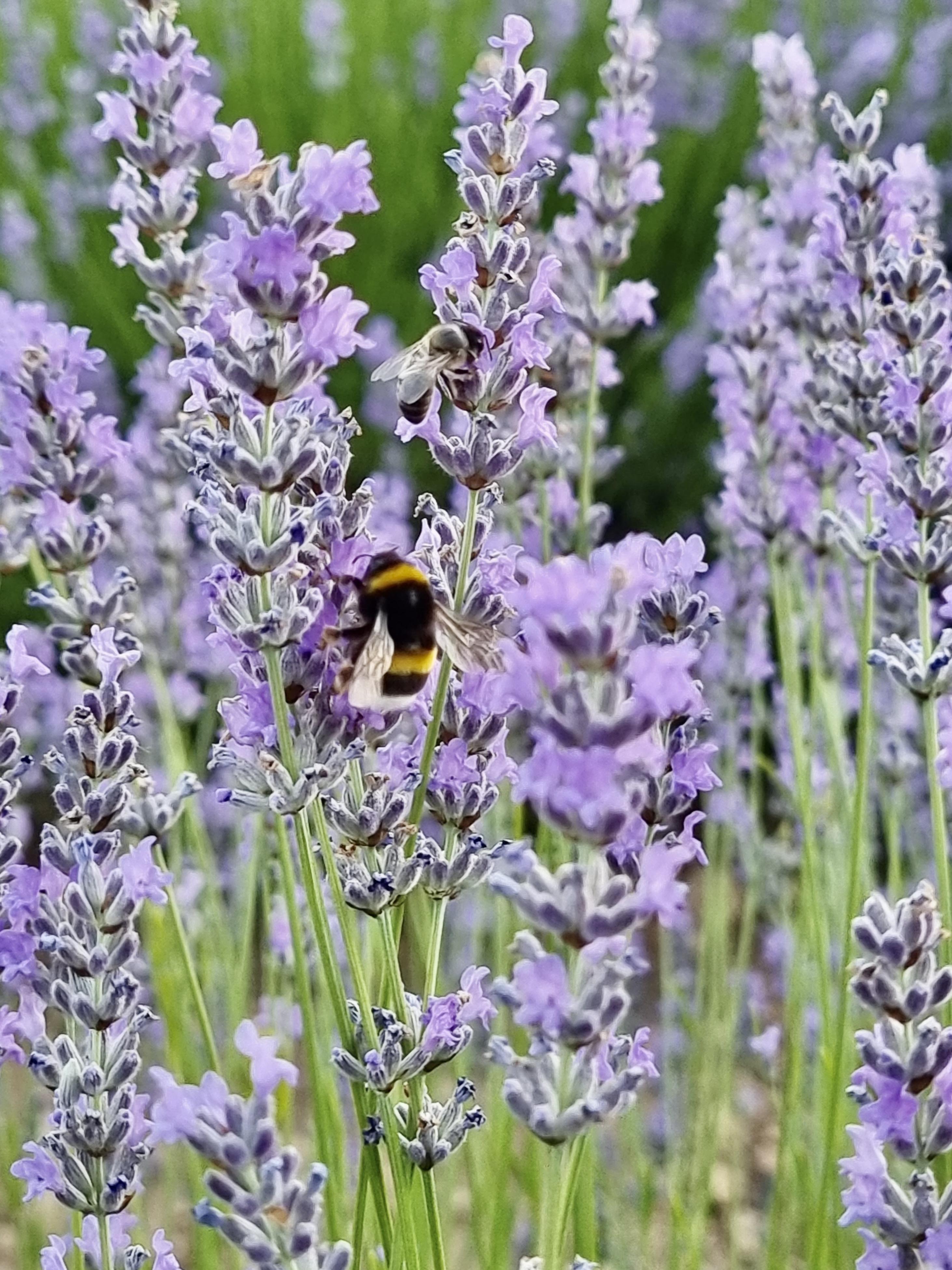 Detalle abeja en campo de lavanda de Malacuera